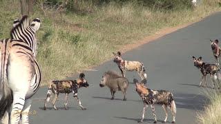 getlinkyoutube.com-Warthog vs Pack of Wild Dogs