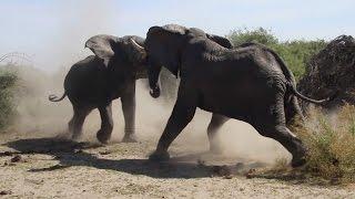 Elephant's Fight