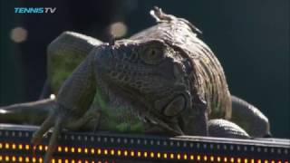 Iguana invades tennis court and runs across it at 2017 Miami Open