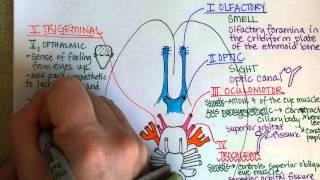 getlinkyoutube.com-Cranial Nerves, Part 1