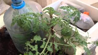 getlinkyoutube.com-زراعه الطماطم الأسود