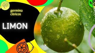 getlinkyoutube.com-Como preparar las semillas de limon para que germinen (Citrus × limon)