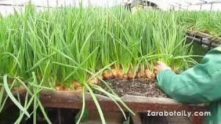 getlinkyoutube.com-Процент выгонки зеленого лука