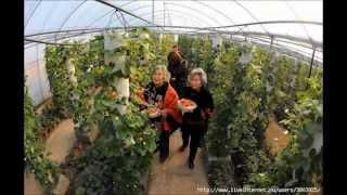 getlinkyoutube.com-Выращивание клубники круглый год в мешках в закрытом грунте