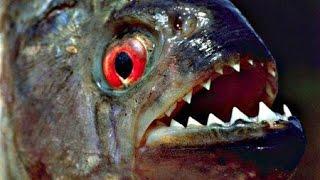 getlinkyoutube.com-Пираньи Едят Лягушек! Слабонервным не Смотреть!! Piranhas Еat Frogs