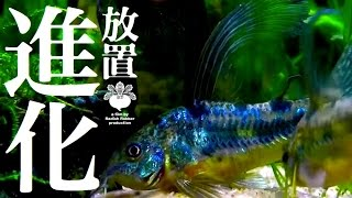 getlinkyoutube.com-水草水槽を2ヶ月放置した結果→コリドラスが進化 (熱帯魚)
