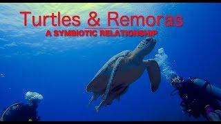Turtles & Remoras - A Symbiotic Relationship