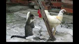 Pelea Gato vs Gallo