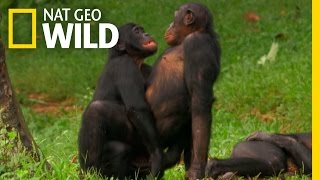 getlinkyoutube.com-Bonobo Love | Wild Wives of Africa