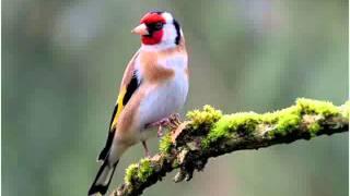 getlinkyoutube.com-تغريد العصافير ولغتهم فيما بينهم