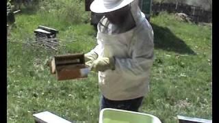 Colectarea polenului in stupina lui Dragos2006