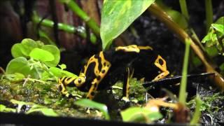 Bumble Bee Dart Frogs Calling