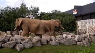 getlinkyoutube.com-Elephants Pee together in Colchester Zoo