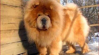 getlinkyoutube.com-Чау-чау сторожевая собака