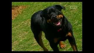 getlinkyoutube.com-Ultimate Dogs - Highly Trainable (Rottweiler)