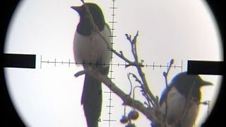getlinkyoutube.com-Air Rifle Magpie shot on 143m/156yards -Pest Control #3