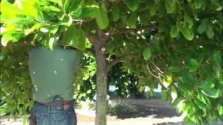 getlinkyoutube.com-Pruning Jackfruit