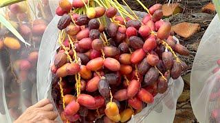 getlinkyoutube.com-My #1 FAVORITE FRUIT TREE for My GARDEN