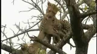 getlinkyoutube.com-Cheetah vs Leopard vs Lion