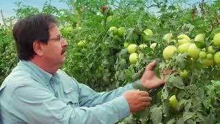 Plantio de Tomate por Gotejamento - Monte Mor, SP