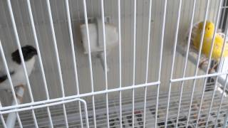 Canaries breeding season 2014 part 1