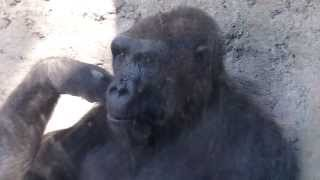 getlinkyoutube.com-GORILLA PLAYS WITH BOY AT ZOO! Funny!
