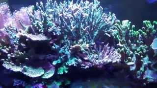 getlinkyoutube.com-Reef tank SPS corals gone crazy