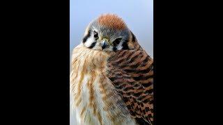 American Kestrels in Falconry