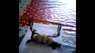 Crab Doing Bench Press