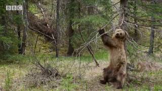 Bears Dancing To 'Jungle Boogie' - Planet Earth II