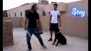 getlinkyoutube.com-تدريب كلب روت طاعة و شراسة و حراسة صاحبه  , ت : 01123290613