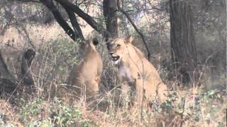 getlinkyoutube.com-Lioness Takes a Baby Baboon From A Tree Top (African Safari Videos)