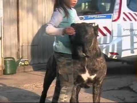 DOGO CANARIO - IGLESIAS El Presa Gran Canaria 10 months