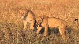 getlinkyoutube.com-Lions hunting and eating / ライオンの狩り&食事