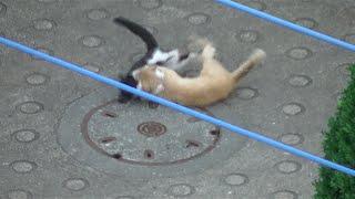 getlinkyoutube.com-朝っぱらから喧嘩してうるさい近所迷惑な野良猫stray cat