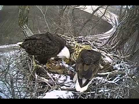 Decorah Eagles,Nice Fly in Mom,Duel Feeding,Great Team Work,4/14/14