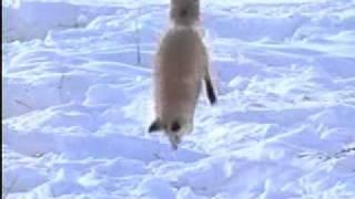 getlinkyoutube.com-北極狐如何獵捕旅鼠? WMV V9