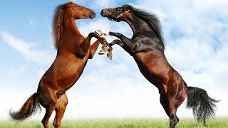 getlinkyoutube.com-Horses - National Geographic