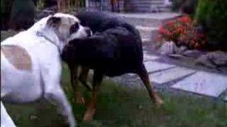getlinkyoutube.com-American Bulldog vs. Rottweiler Pt.1