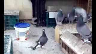 getlinkyoutube.com-pigeon voyageur 2016