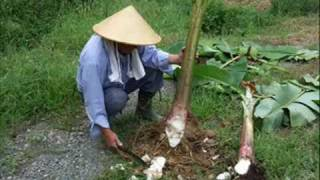 getlinkyoutube.com-Grafting mature banana specimens