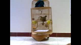 getlinkyoutube.com-chào mào mồi hay.3gp -Kênh về chim Chào mào của Triệu Triệu