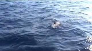 getlinkyoutube.com-Cernia 50 Kg con Mediterranean Jig