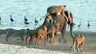 getlinkyoutube.com-המיוחדים - פיל צעיר בודד מול 14 אריות רעבים. איך זה ייגמר?