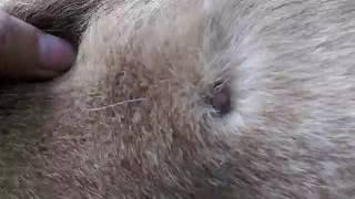 getlinkyoutube.com-狗狗寄生蟲成蜱Dog ticks as parasites