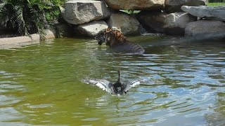 Bravest Duck Ever plays with Tiger for fun!