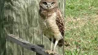 BURROWING OWL HEAD TILT. IT'S  MR.DIG's - LIVE!