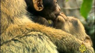 getlinkyoutube.com-القرود ـ عالم عجيب