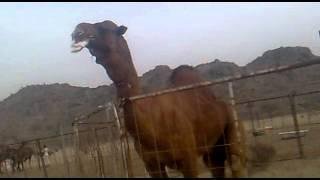 getlinkyoutube.com-اجمل فحل باكستاني لصاحبه نادر السهلي