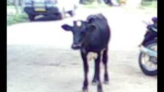 getlinkyoutube.com-அதிசயம் மாடு